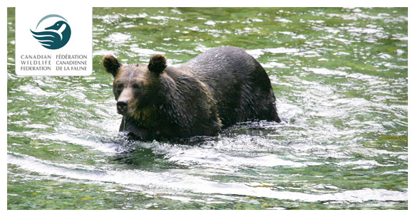 black-bear-in-water