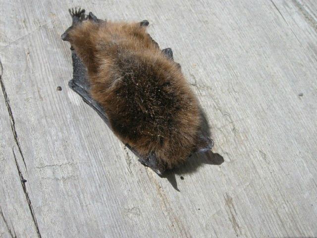 Bat Suze fooubd WL Apr 2013 (6)