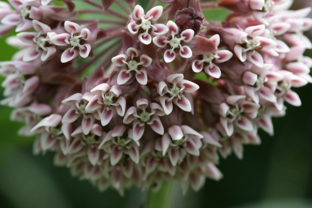 common milkweed - 640px