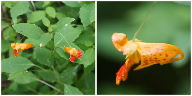 jewelweed collage