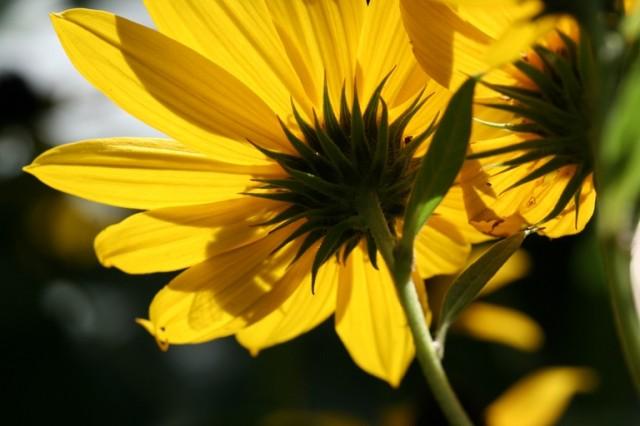 bee on native perennial sunflower