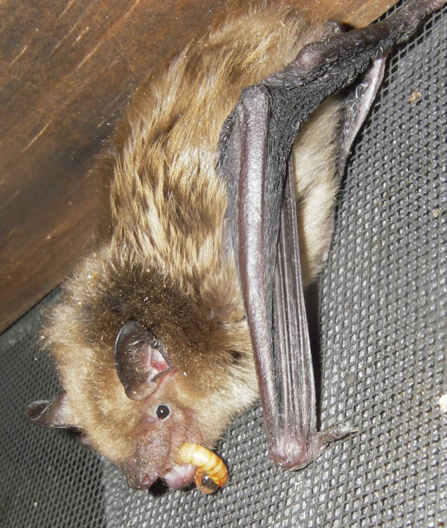 white nose syndrome bats