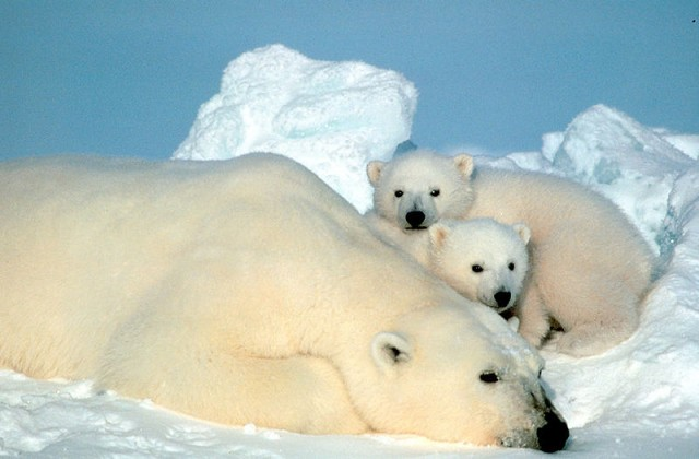 Polar bear and 2 cubs