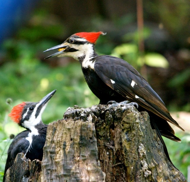 Pileated woodpecker adult with young