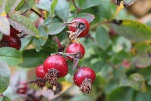 Rosa carolina rosehips - sarah - 300px (1)