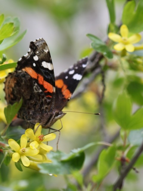 red admiral butterfly on golden currant