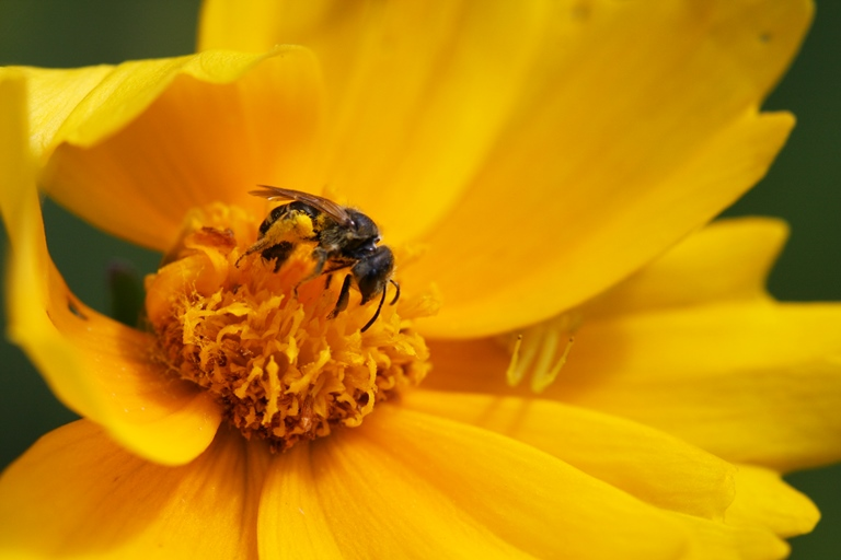 coreopsis, spider and bee