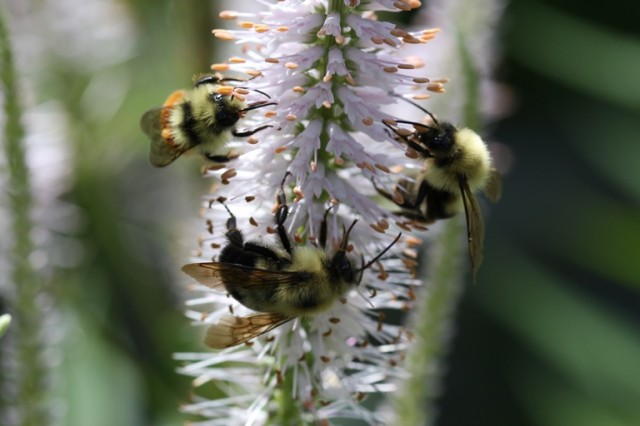 bees pollinating culver's root