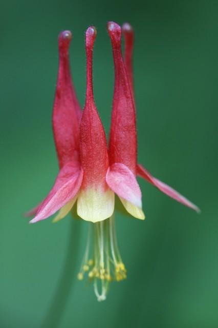 eastern wild columbine (Aquilegia Canadensis)