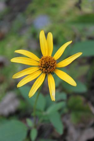 false sunflower - sarah - 300px