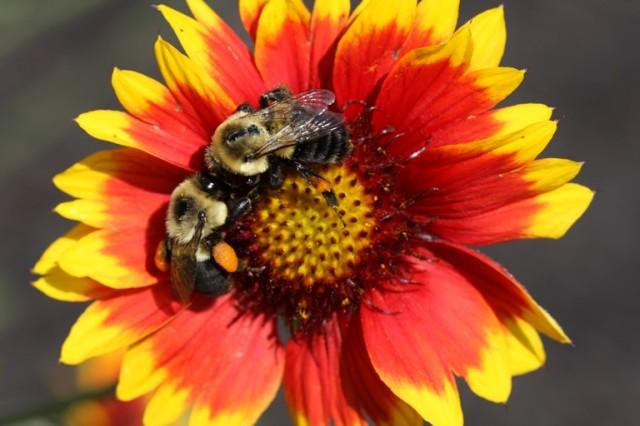 bees gathering pollen from a Gaillardia flower