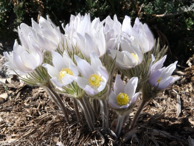 pasque flower aka prairie crocus