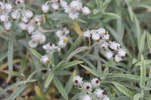 pearly everlasting - sarah - 300px