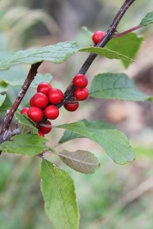 winterberry - sarah - 300px