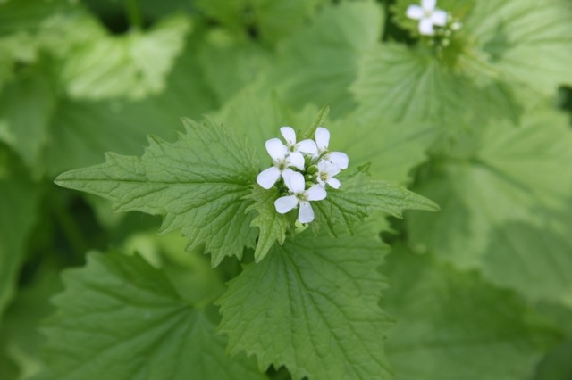 garlic mustard flowers - note the small 4-petaled white flowers