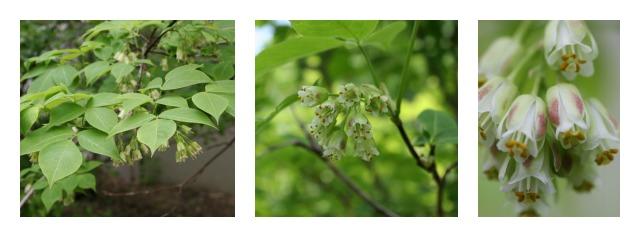 bladdernut shrub
