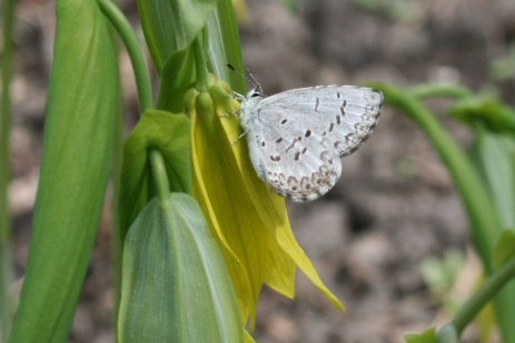 butterfly on bellwort