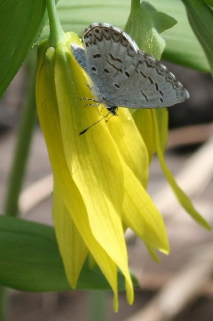 butterfly on bellwort