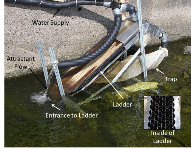 An example of an eel ladder previous used in the Ottawa River and its associated tributaries. The attractant flow is used to attract the eels to the ladder and they then ascend the ladder (which is covered), which is similar to a peg board - once at the top, they are caught in a flow through trap which is monitored daily. We will collect measurements and then release all eels. (CWF)