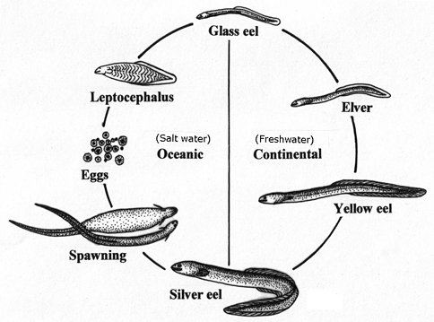 The American eel has a unique life history , spending the majority of its life in freshwater and then migrating to marine waters to spawn - this is known as catadromous. This diagram shows the lifecycle of an American eel (Diagram by Rob Slapkauskas - MNR)