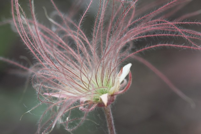 prairie smoke seed head
