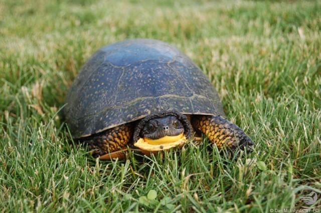 dan-mcintyre-blanding-turtle