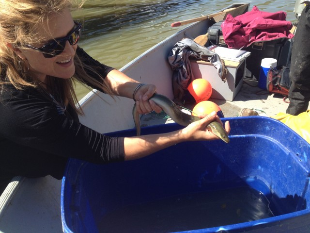 Naomi Langlois-Anderson, Senior Fish and Wildlife Technician for South Nation Conservation handles the eel that was caught in the South Nation River.