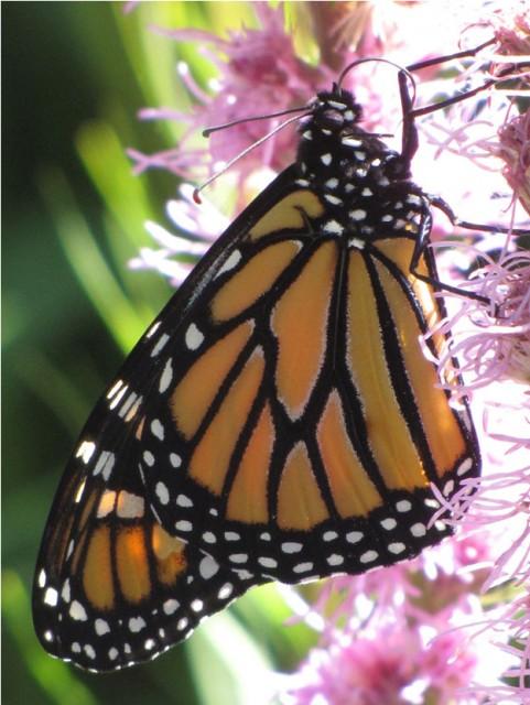 monarch-lg