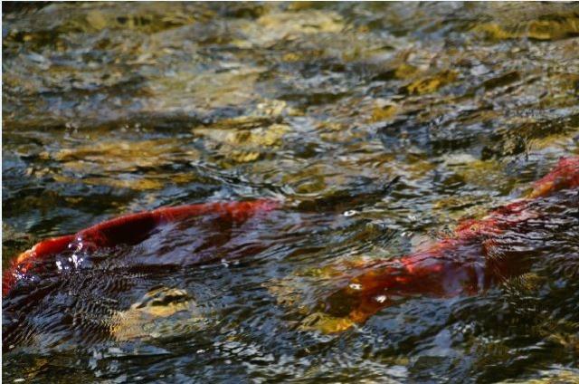 salmon pic