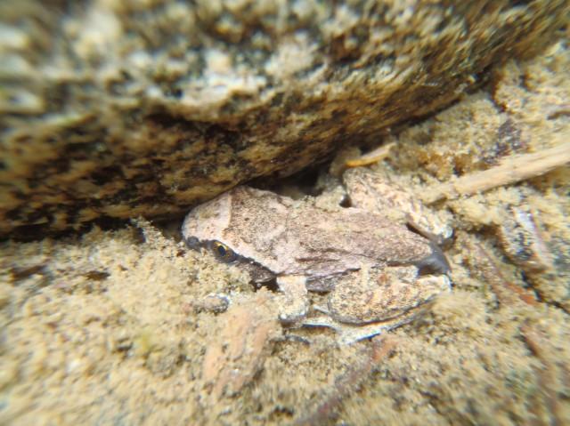A coastal tailed frog metamorph