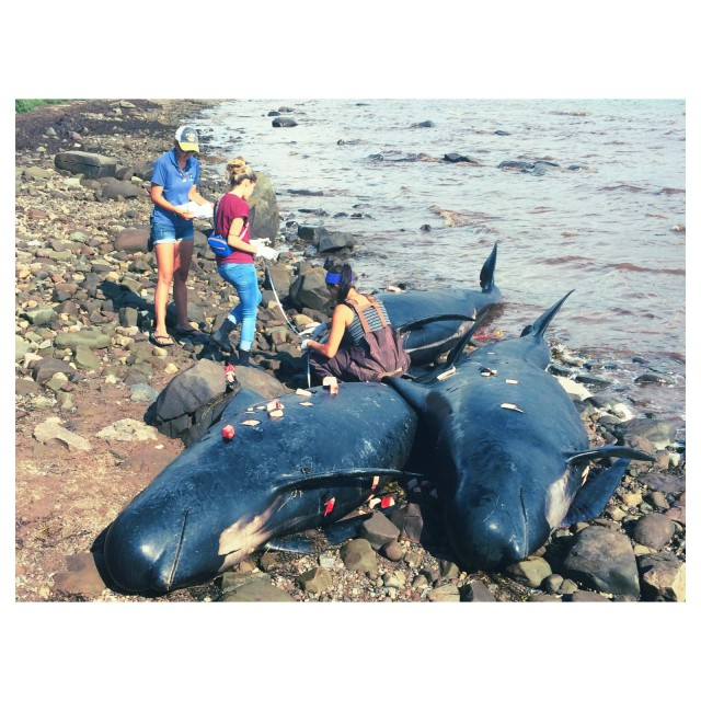 Marine Animal Response Society (MARS) volunteers take post-mortem samples and measurements of the long-finned pilot whales (Globicephala melas) that washed ashore in Judique, NS, on August 4, 2015. The blubber samples (tissue cubes seen above) help to determine the relative health of the animal at the time of death – these whales were found to have normal blubber thickness, meaning they were in good health at the time of the stranding.