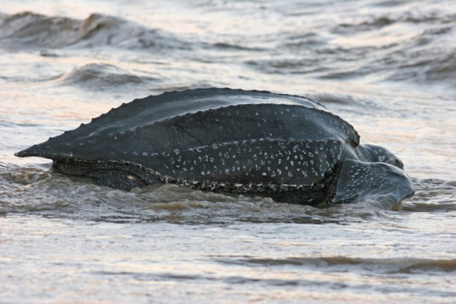 The distinctive ridges of a leatherback turtle's carapace