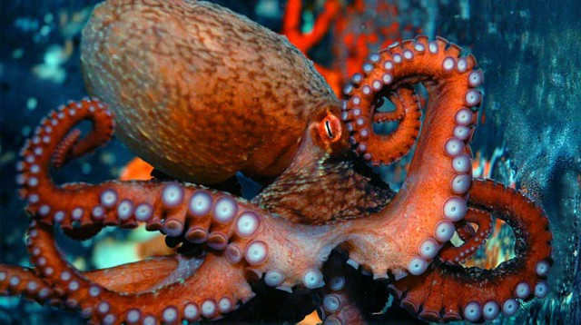 A Pacific octopus is one of the many marine invertebrates found in our oceans (PHOTO)