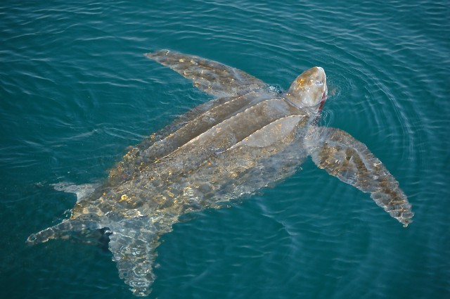 A leatherback turtle had large flippers that make it an efficient swimmer (PHOTO: Canadian Sea Turtle Network)