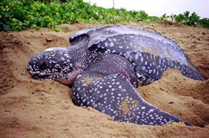 8_Leather-back-sea-turtle