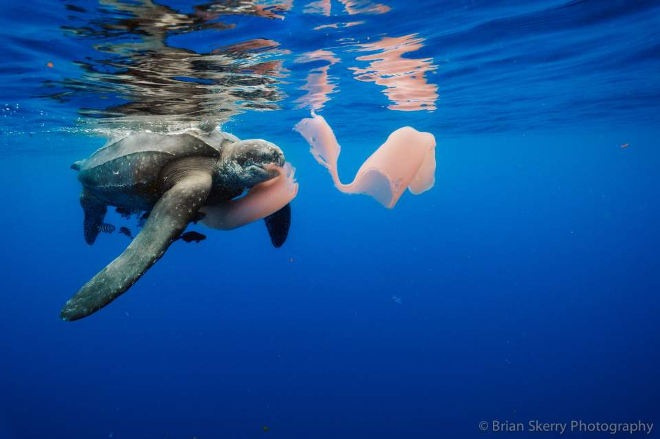 Leatherback turtle feeding on a jellyfish (PHOTO)