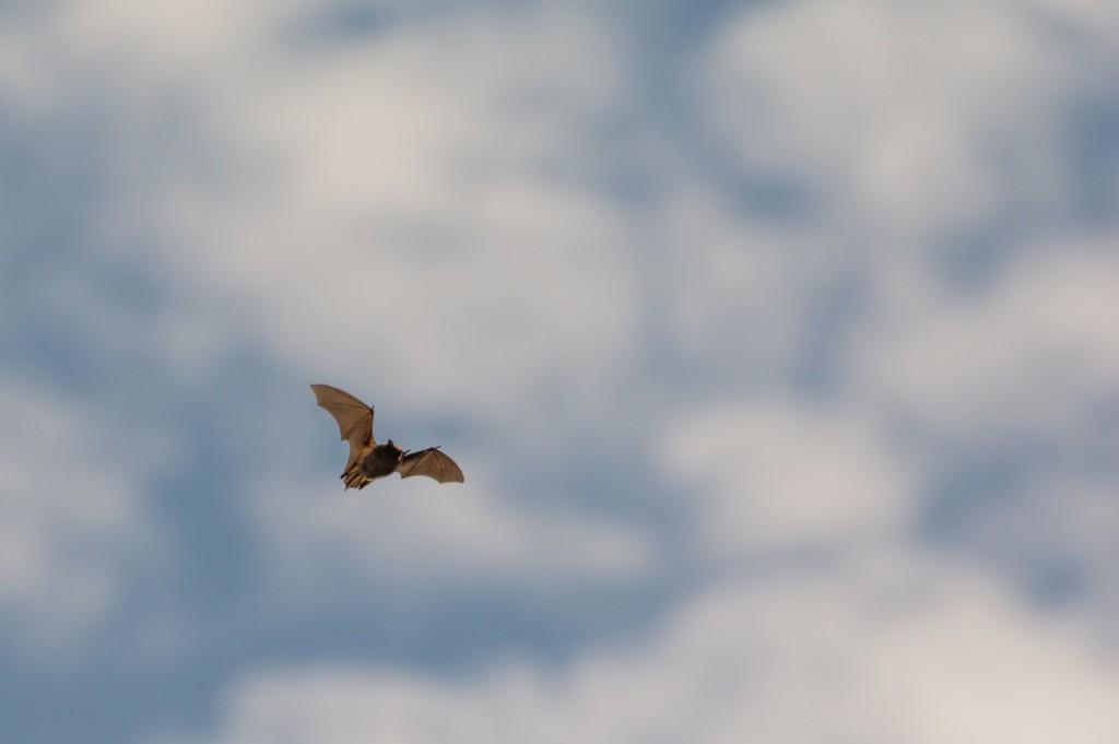 A Myotis bat flies in the evening sun