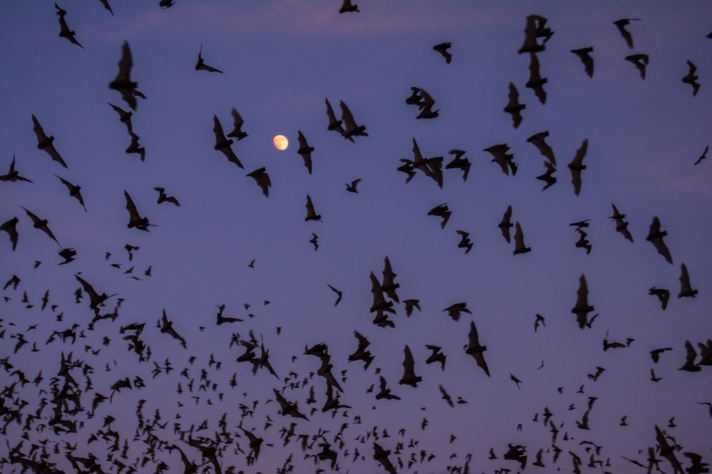 Hundreds of Mexican free-tailed bats using echolocation to avoid mid-air collisions