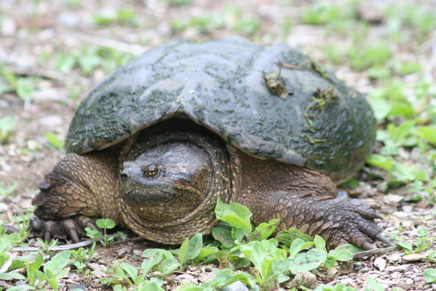 snapping turtle carolyn callaghan