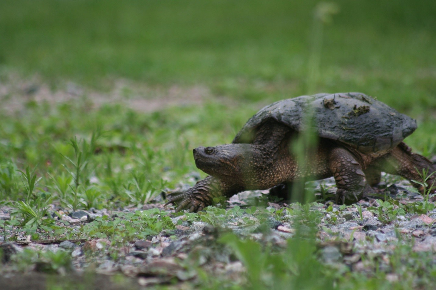 snapping turtle female grass carolyn callaghan