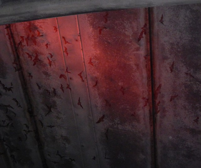 Bats flying under the bridge. People also watch the bats emerge from boats on the water. Tour boats have red-light spotlights in order to see the bats better.