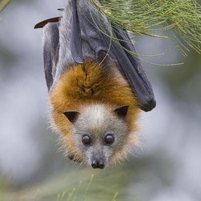 Grey-Headed-Flying-Fox
