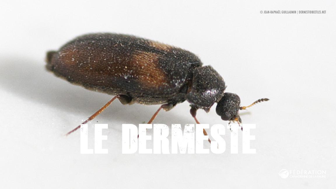 beetle_fr