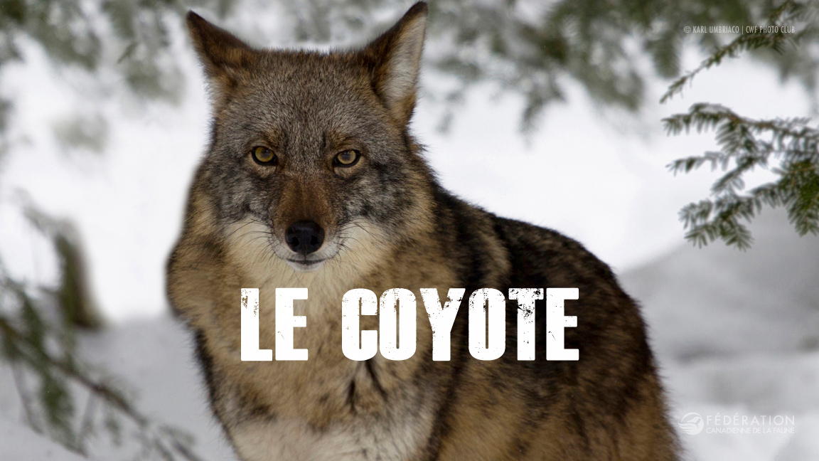 coyote_fr