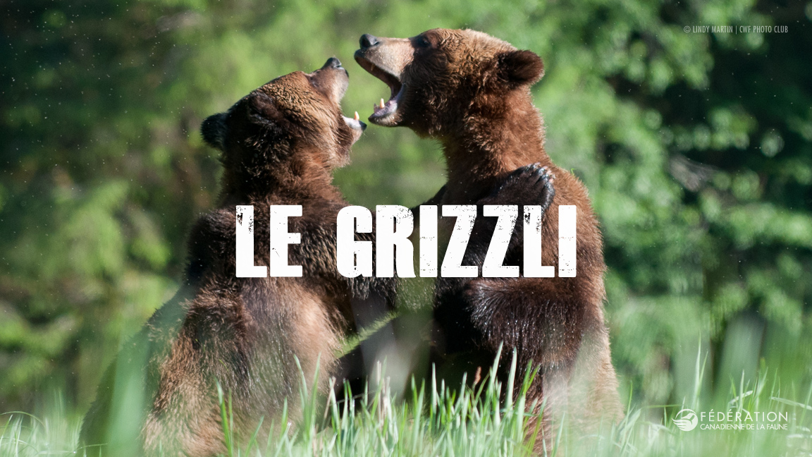 grizzly_fr