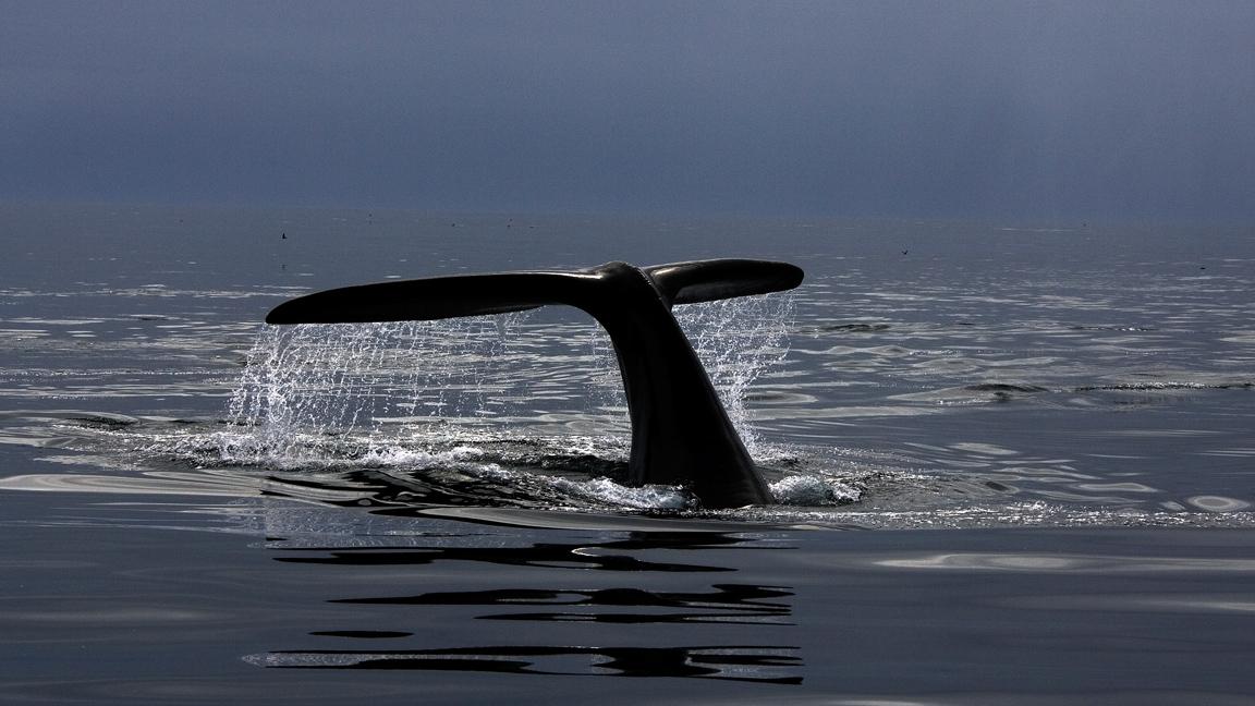 Le dilemme de la baleine noire de l'Atlantique Nord (et des chercheurs)