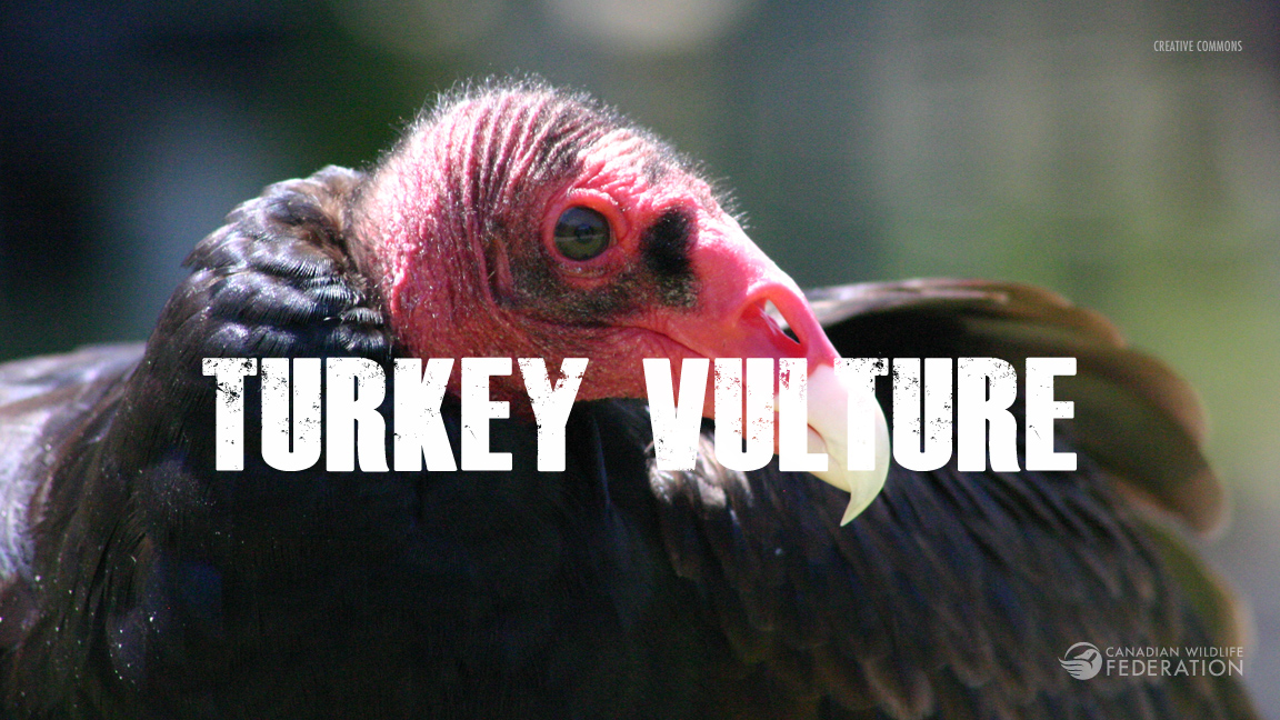 tukey-vulture2