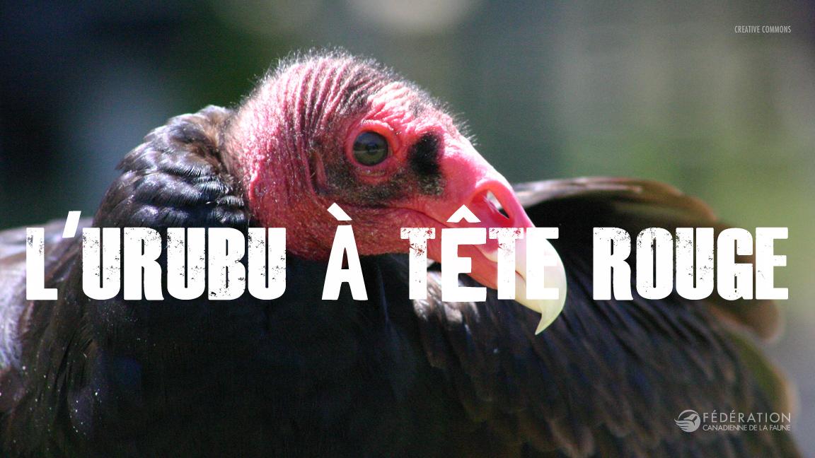 tukey-vulture_fr