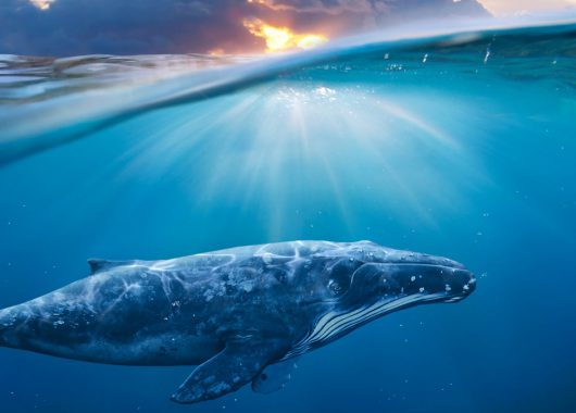 The Quest to Find Canada's Great Whales