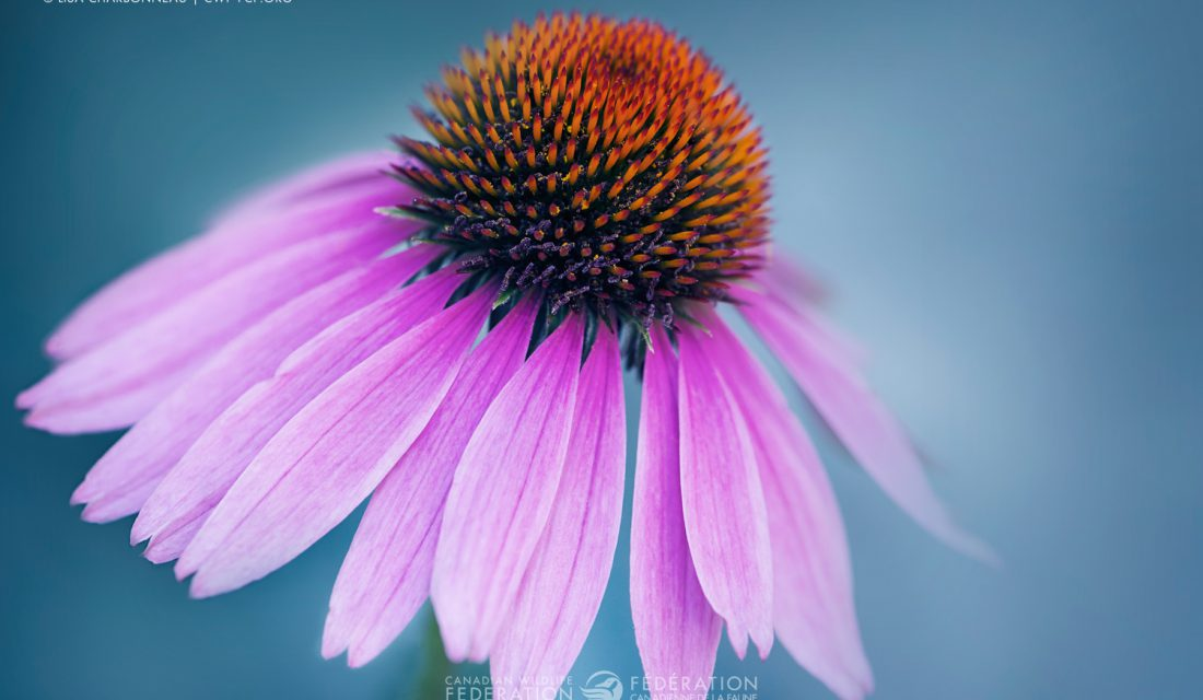 """Purple Coneflower"" by Lisa Charbonneau"